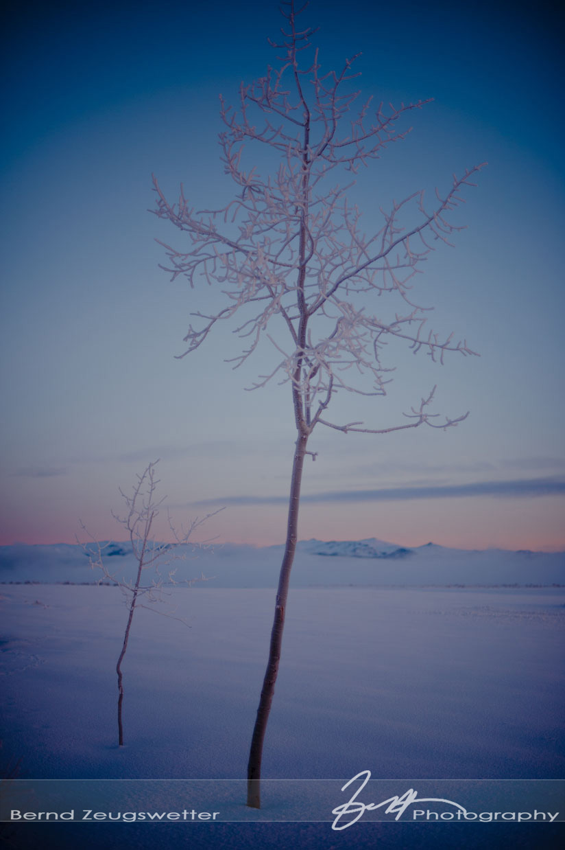 Frost on tree at Mono Lake, Eastern Sierra.